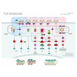 Signalisation TLR