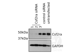 Western Blotting validation image for anti-Colony Stimulating Factor 2 Receptor, Alpha, Low-Affinity (Granulocyte-Macrophage) (CSF2RA) (Center) antibody (ABIN2705734)