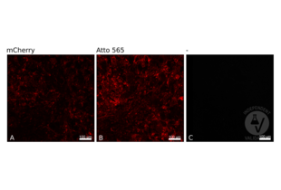 anti-Red Fluorescent Protein (RFP) antibody (Atto 565)