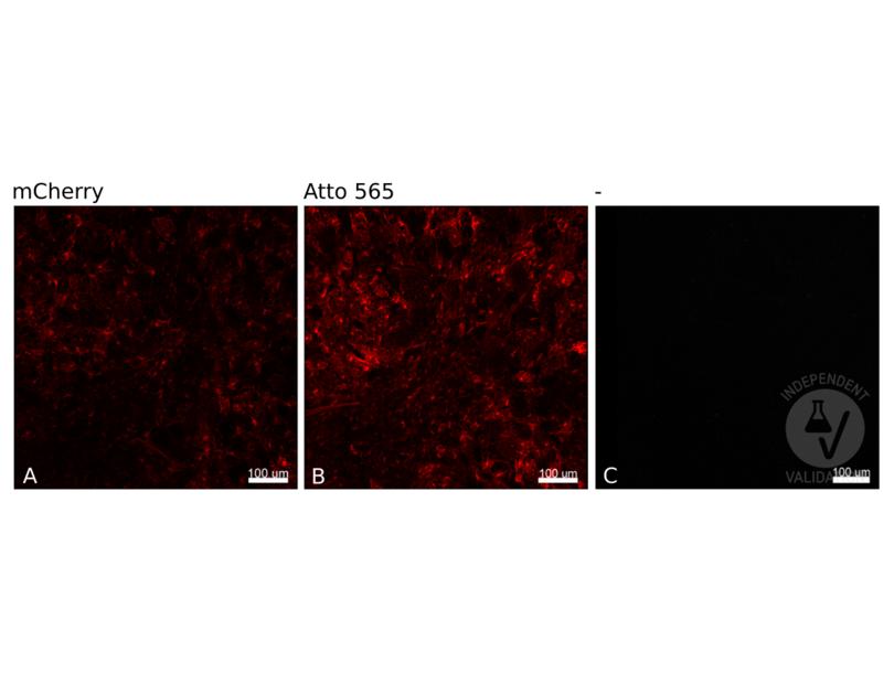 Immunofluorescence validation image for anti-Red Fluorescent Protein (RFP) antibody (Atto 565) (ABIN4368323)