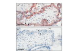 Immunohistochemistry validation image for anti-KLH antibody (ABIN401183)