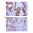 anti-TMEM173 Antikörper (Transmembrane Protein 173) (AA 284-316)