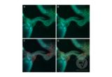 Immunofluorescence validation image for anti-Tyrosine Decarboxylase 2 (TDC2) (C-Term) antibody (ABIN4889606)