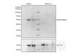 Western Blotting validation image for anti-Sperm Associated Antigen 4 (SPAG4) antibody (ABIN4368846)