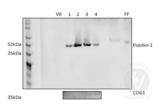 Western Blotting validation image for anti-Flotillin 1 (FLOT1) (C-Term) antibody (ABIN5552770)