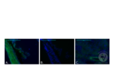 Immunohistochemistry validation image for anti-CA12 (AA 161-318) antibody (ABIN3204699)