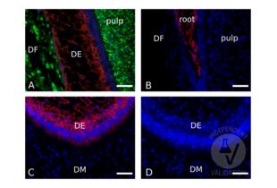 Immunofluorescence validation image for anti-Cadherin 1, Type 1, E-Cadherin (Epithelial) (CDH1) (AA 375-631) antibody (ABIN1858334)