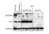 Western Blotting validation image for anti-Nuclear Receptor Coactivator 4 (NCOA4) (N-Term) antibody (ABIN2780237)