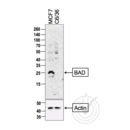 anti-BAD anticorps (BCL2-Associated Agonist of Cell Death) (AA 140-168)