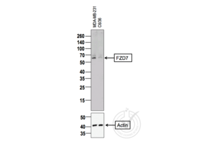 Western Blotting validation image for anti-Frizzled Family Receptor 7 (FZD7) (AA 550-574) antibody (ABIN710051)