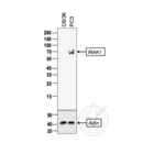 anti-IRAK1 抗体 (Interleukin-1 Receptor-Associated Kinase 1) (AA 325-360)