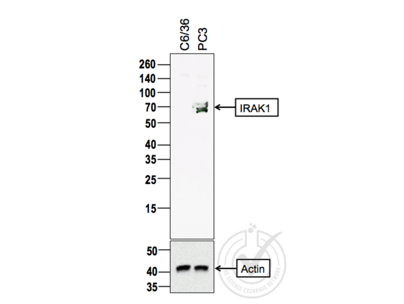 Western Blotting validation image for anti-Interleukin-1 Receptor-Associated Kinase 1 (IRAK1) (AA 325-360) antibody (ABIN1387749)