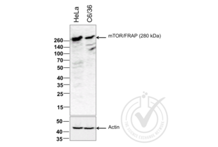 anti-Mechanistic Target of Rapamycin (serine/threonine Kinase) (FRAP1) (AA 2436-2492) antibody