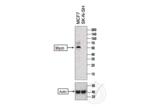 Western Blotting validation image for anti-Mycn (MYCN) (AA 410-464) antibody (ABIN760676)
