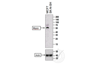 Western Blotting validation image for anti-Mycn (MYCN) (AA 410-464) antibody (ABIN760676)