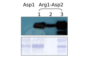 anti-Arginylation (N-Term) antibody