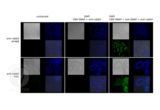 Immunofluorescence validation image for Goat anti-Rabbit IgG (Heavy & Light Chain) antibody (FITC) (ABIN101988)