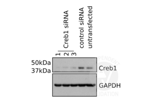 Western Blotting validation image for anti-CAMP Responsive Element Binding Protein 1 (CREB1) antibody (ABIN969061)