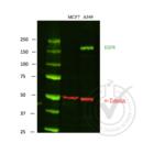 anti-EGFR Antikörper (Epidermal Growth Factor Receptor)