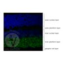 anti-Glycine Transporter 1 (GLYT1) (AA 500-600) antibody