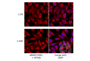 anti-Pan RAB (Internal Region) antibody