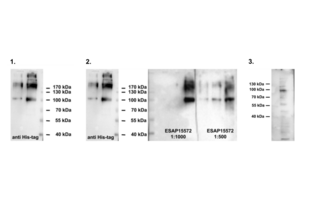 Western Blotting validation image for anti-Outer Dense Fiber of Sperm Tails 2 (ODF2) antibody (ABIN2430582)