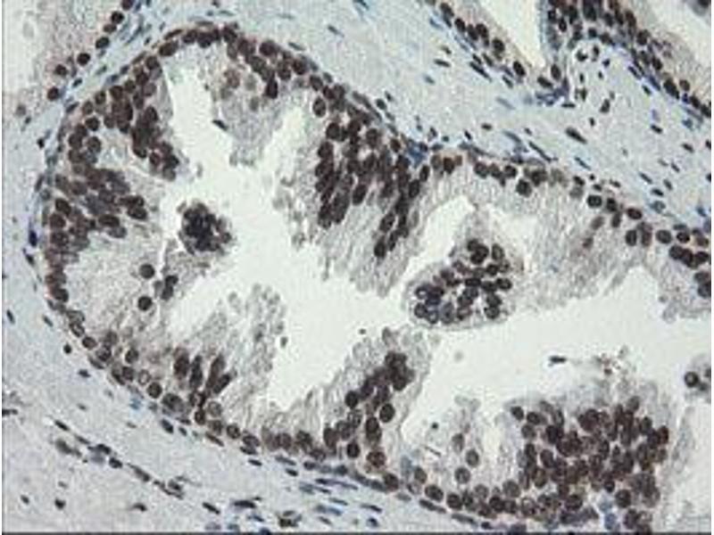 image for anti-Transducin-Like Enhancer of Split 1 (E(sp1) Homolog, Drosophila) (TLE1) (AA 180-460) antibody (ABIN1491049)