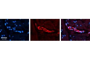 Image no. 2 for anti-AKT1 Substrate 1 (Proline-Rich) (AKT1S1) (C-Term) antibody (ABIN2783209)