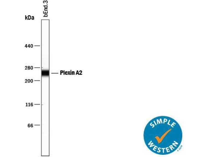 Simple Western (SimWes) image for anti-Plexin A2 (Plxna2) (AA 35-1237) antibody (ABIN4900258)