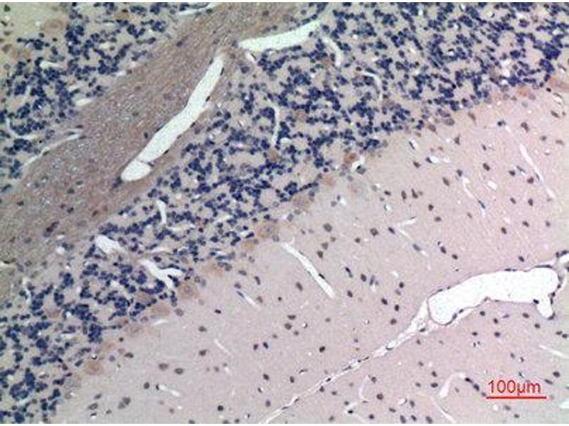 Immunohistochemistry (IHC) image for anti-Apelin (APLN) (C-Term) antibody (ABIN3187705)
