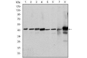 Western Blotting (WB) image for anti-Mitogen-Activated Protein Kinase 3 (MAPK3) antibody (ABIN4880378)