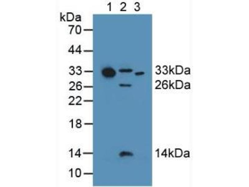 Western Blotting (WB) image for anti-Complement Component 1, Q Subcomponent, A Chain (C1QA) (AA 28-245) antibody (ABIN1862257)