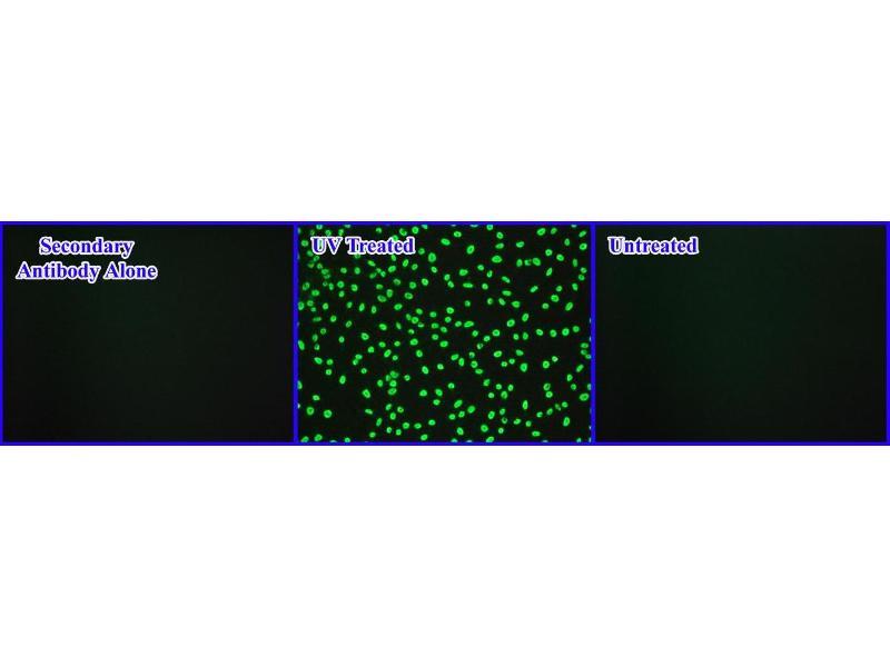Immunofluorescence (IF) image for Ular UV-Induced DNA Damage ELISA Kit (ABIN2344977)