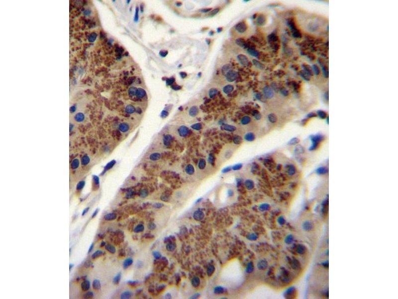 Immunohistochemistry (IHC) image for anti-INHBA antibody (Inhibin, beta A) (AA 85-112) (ABIN655078)