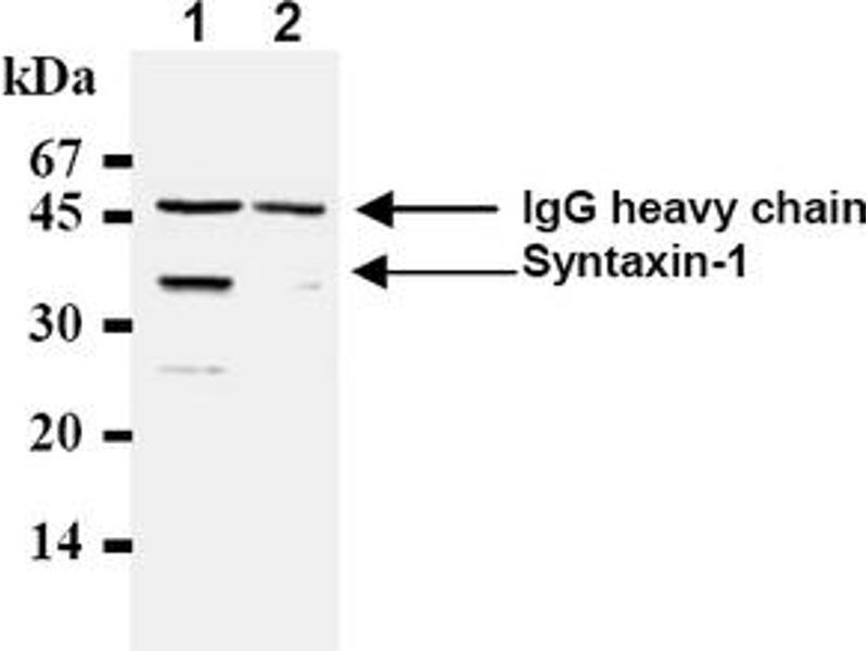 Western Blotting (WB) image for anti-Syntaxin 1A (Brain) (STX1A) antibody (ABIN492371)