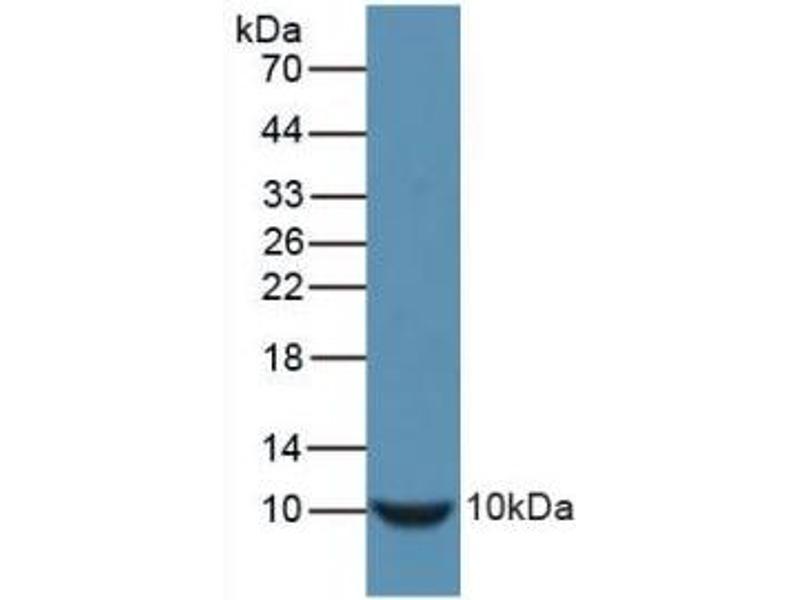 Western Blotting (WB) image for anti-Insulin (INS) (AA 25-54), (AA 90-110) antibody (ABIN2934870)