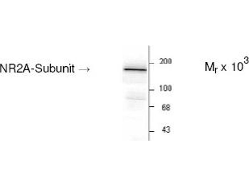 Western Blotting (WB) image for anti-NMDAR2A antibody (Glutamate Receptor, Ionotropic, N-Methyl D-Aspartate 2a) (C-Term) (ABIN152454)
