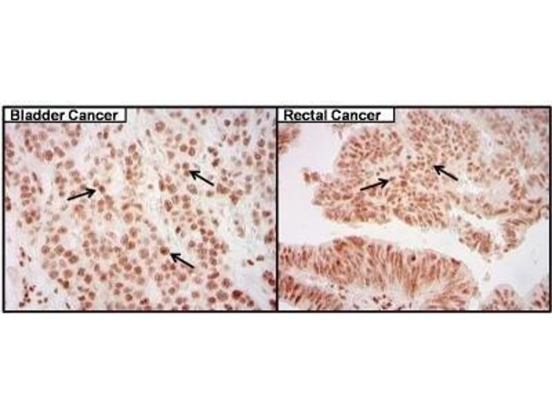 Image no. 3 for anti-cAMP Responsive Element Binding Protein 1 (CREB1) antibody (ABIN261497)