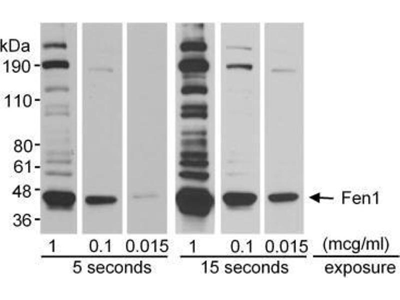 Western Blotting (WB) image for anti-Flap Structure-Specific Endonuclease 1 (FEN1) (AA 250-300) antibody (ABIN151787)