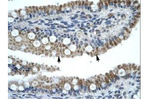 Image no. 1 for anti-Zinc Finger Protein 683 (ZNF683) (AA 89-138) antibody (ABIN202688)