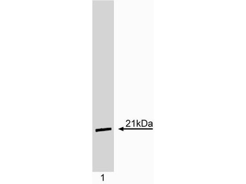 Western Blotting (WB) image for anti-K-RAS antibody (GTPase Kras) (ABIN967445)