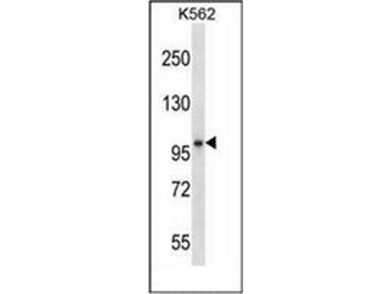 Western Blotting (WB) image for anti-Kell Blood Group, Metallo-Endopeptidase (KEL) (AA 213-243), (Middle Region) antibody (ABIN951237)