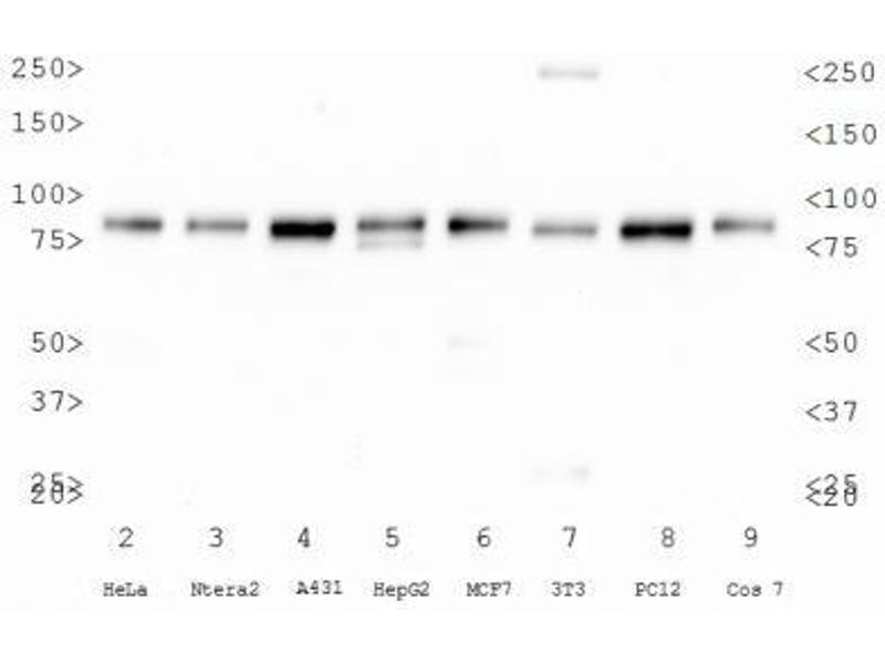 Western Blotting (WB) image for anti-Calnexin antibody (CANX) (Internal Region) (ABIN151464)