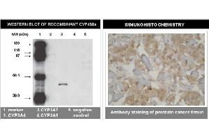 Image no. 1 for anti-Cytochrome P450, Family 3, Subfamily A, Polypeptide 7 (CYP3A7) (C-Term) antibody (ABIN264501)