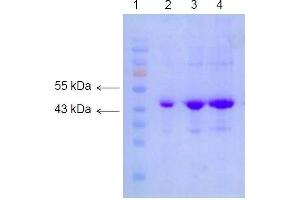 Western Blotting (WB) image for Actin, beta (ACTB) protein (ABIN5662577)