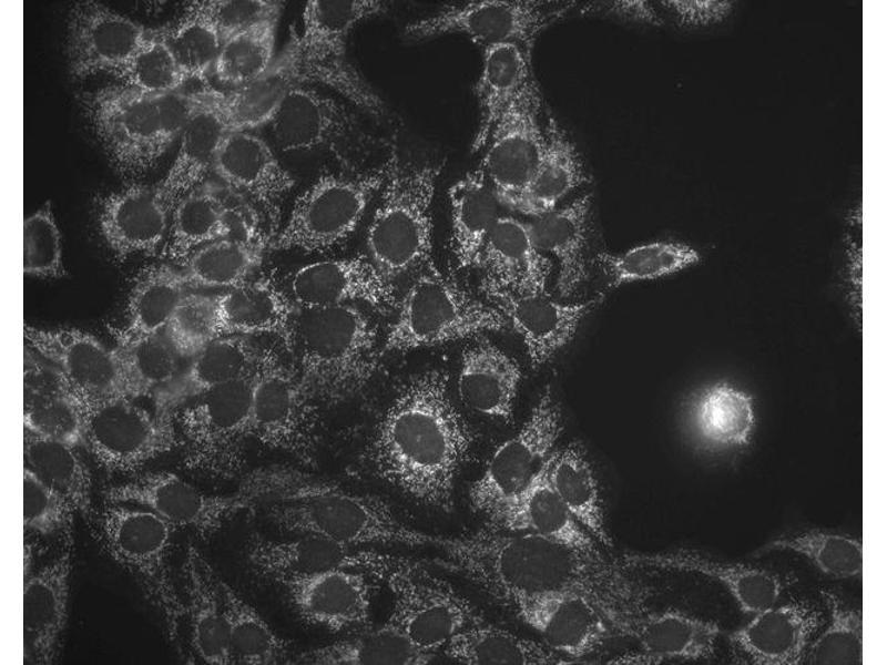Immunofluorescence (fixed cells) (IF/ICC) image for anti-Heat Shock 60kDa Protein 1 (Chaperonin) (HSPD1) antibody (Atto 565) (ABIN2481430)