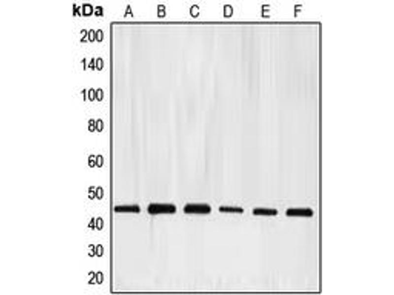 Western Blotting (WB) image for anti-E2F Transcription Factor 4, P107/p130-Binding (E2F4) (Center) antibody (ABIN2706063)
