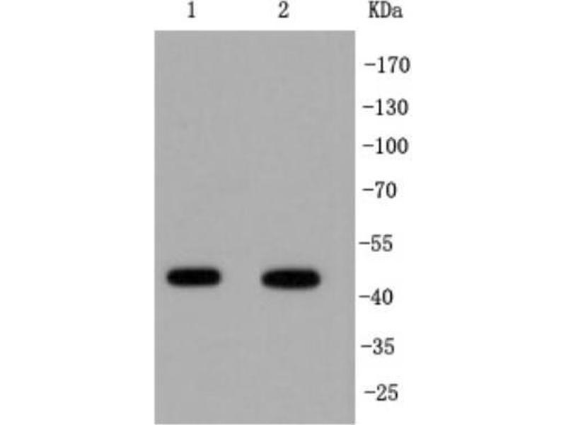 Western Blotting (WB) image for anti-Interferon Regulatory Factor 1 (IRF1) (C-Term) antibody (ABIN5947983)