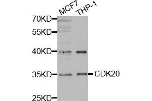 Image no. 4 for anti-Cyclin-Dependent Kinase 20 (CDK20) antibody (ABIN3016460)