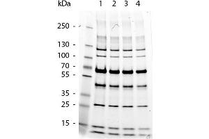 Image no. 2 for Protein Molecular Weight Marker (ABIN925595)